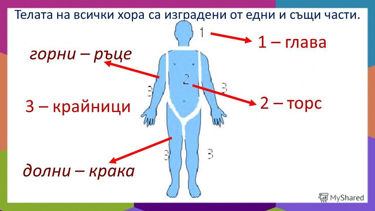 Телата на всички хора са изградени от едни и същи части. 1 – глава 2 – торс 3 – крайници горни – ръце долни – крака