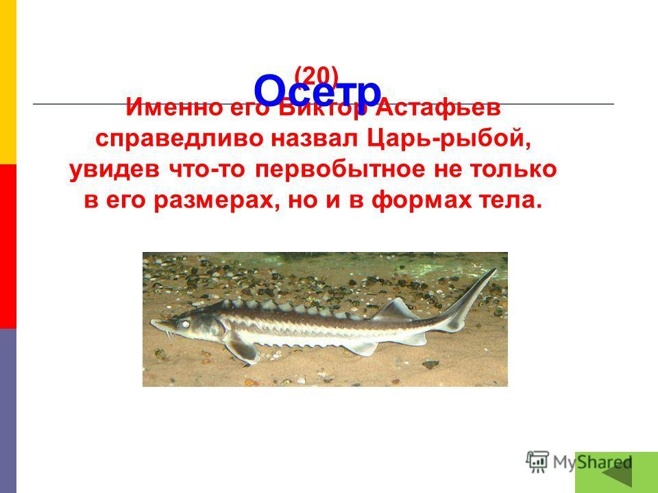 (20) Именно его Виктор Астафьев справедливо назвал Царь-рыбой, увидев что-то первобытное не только в его размерах, но и в формах тела. Осетр