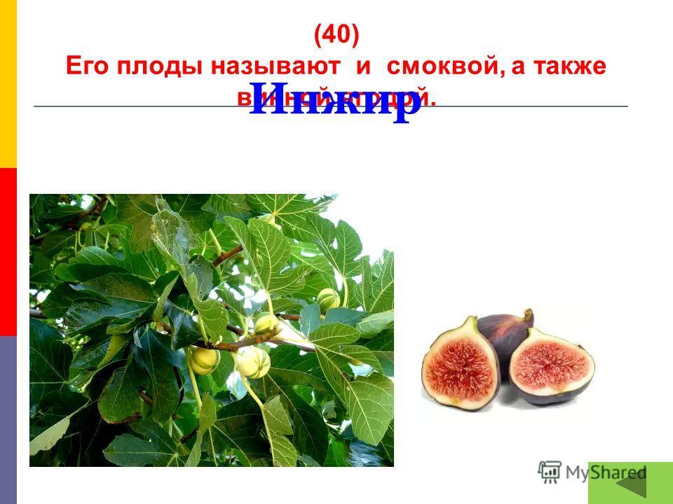(40) Его плоды называют и смоквой, а также винной ягодой. Инжир