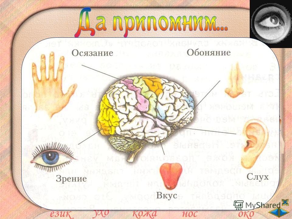 Свържи петте сетива така, че да е вярно. осезаниевкус зрение слух обоняние език ухо кожа носоко