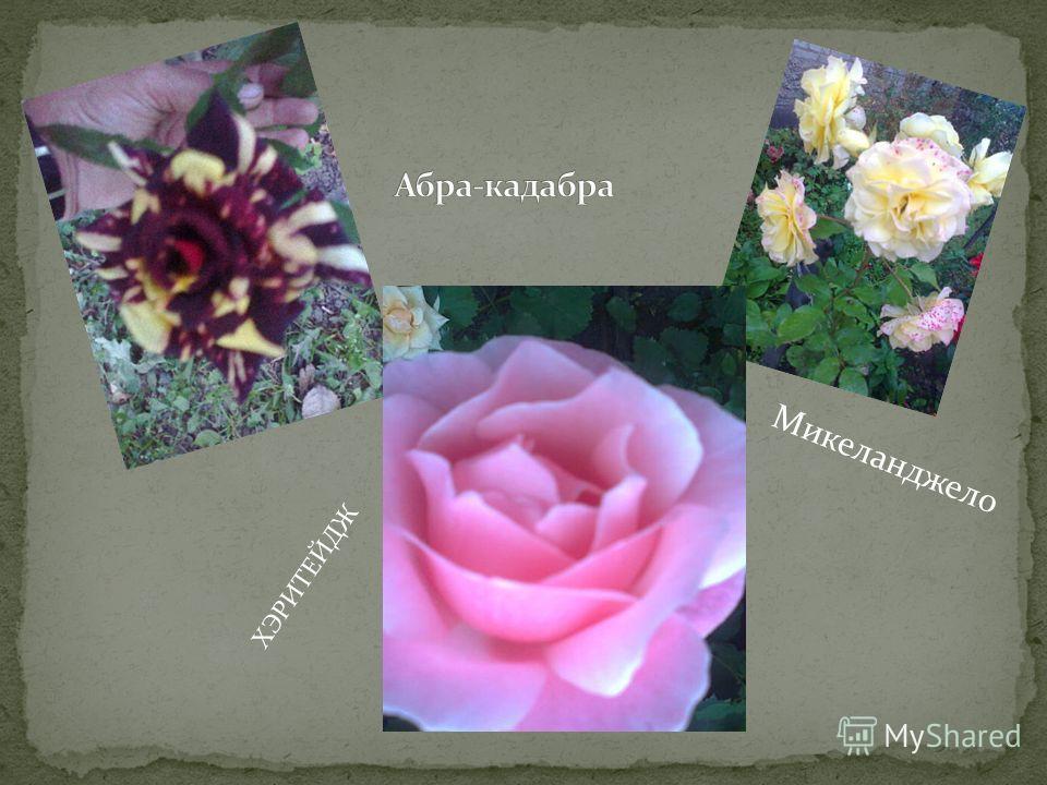 Красивоцветущие хризантемы