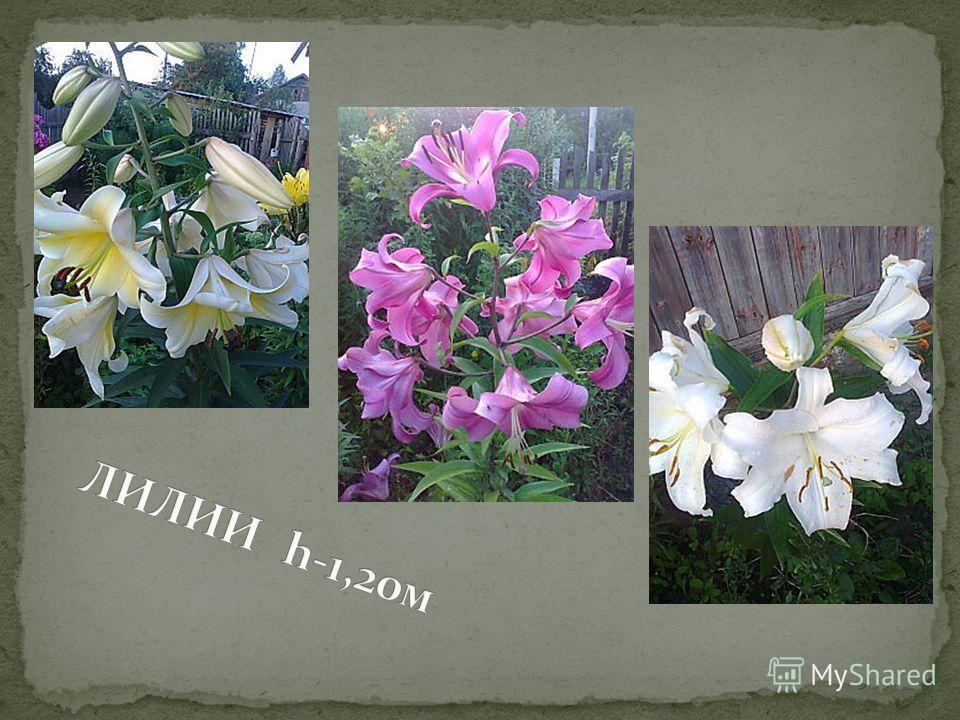 Гибискус Флокс розовый