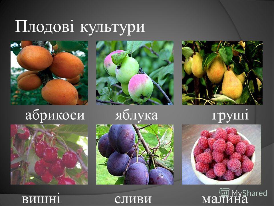 Плодові культури абрикоси яблука груші вишні сливи малина