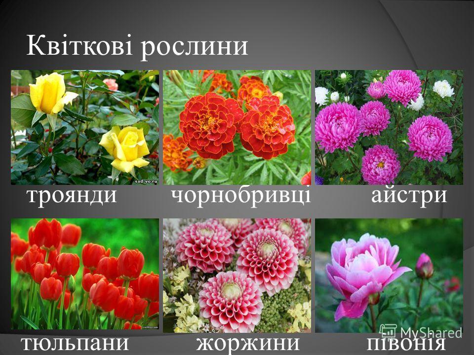 Квіткові рослини троянди чорнобривці айстри тюльпани жоржини півонія