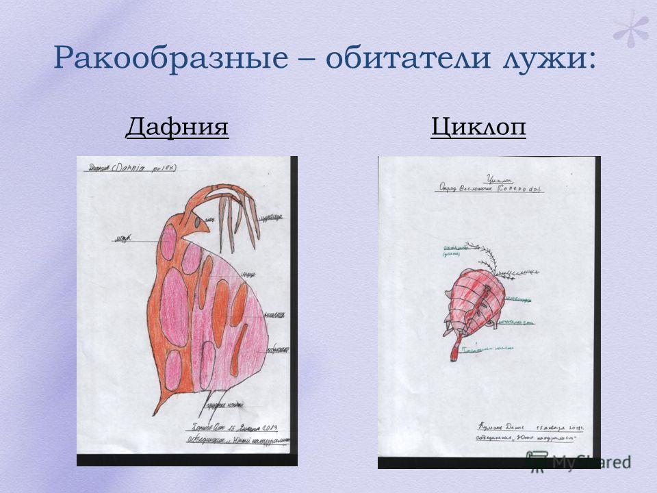 Ракообразные – обитатели лужи: ДафнияЦиклоп