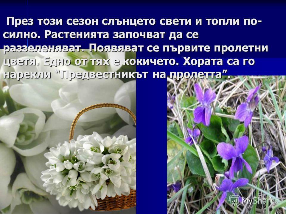През този сезон слънцето свети и топли по- силно. Растенията започват да се раззеленяват. Появяват се първите пролетни цветя. Едно от тях е кокичето. Хората са го нарекли Предвестникът на пролетта. През този сезон слънцето свети и топли по- силно. Ра