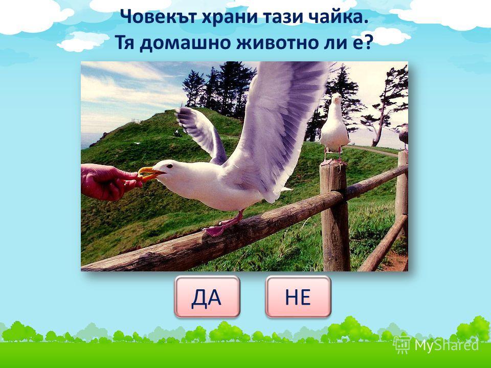 Човекът храни тази чайка. Тя домашно животно ли е? ДА НЕ