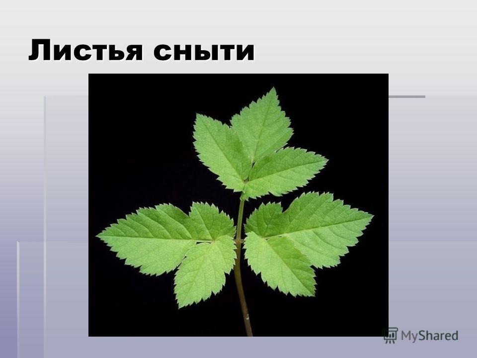Сныть В пищу пригодны молодые листья В пищу пригодны молодые листья