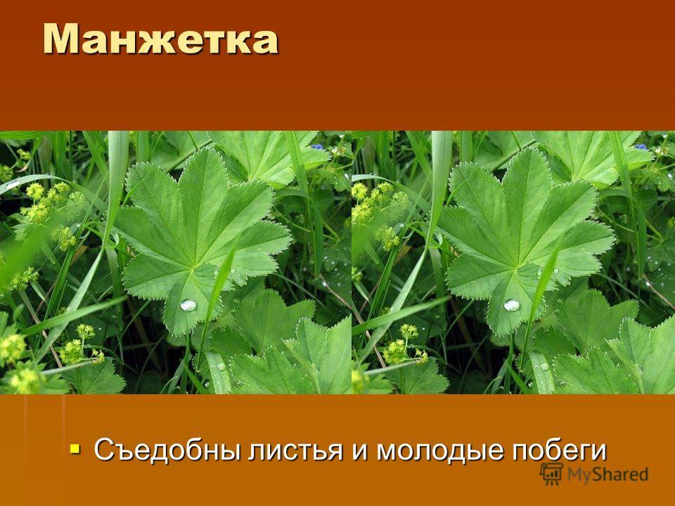 Одуванчик Съедобны листья растения, перед употреблением их нужно ошпарить кипятком, чтобы избавить их от горечи.