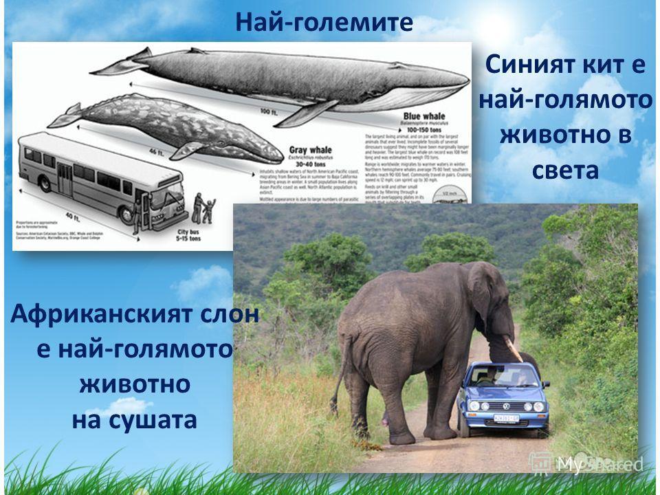 Най-големите Синият кит е най-голямото животно в света Африканският слон е най-голямото животно на сушата