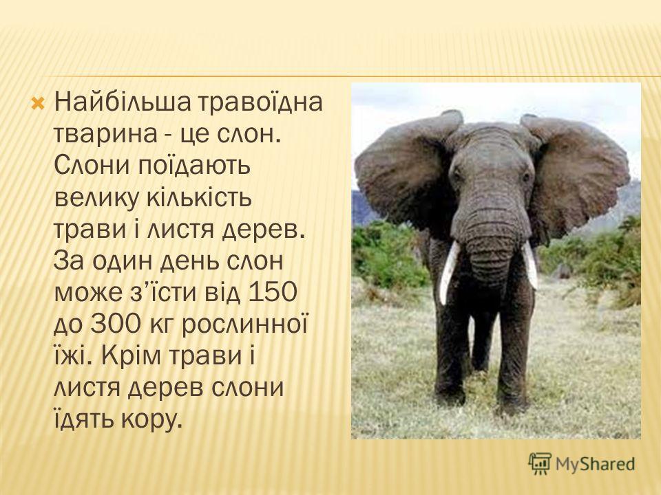 Найбільша травоїдна тварина - це слон. Слони поїдають велику кількість трави і листя дерев. За один день слон може зїсти від 150 до 300 кг рослинної їжі. Крім трави і листя дерев слони їдять кору.