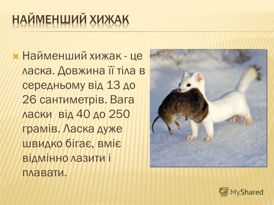 Найменший хижак - це ласка. Довжина її тіла в середньому від 13 до 26 сантиметрів. Вага ласки від 40 до 250 грамів. Ласка дуже швидко бігає, вміє відмінно лазити і плавати.
