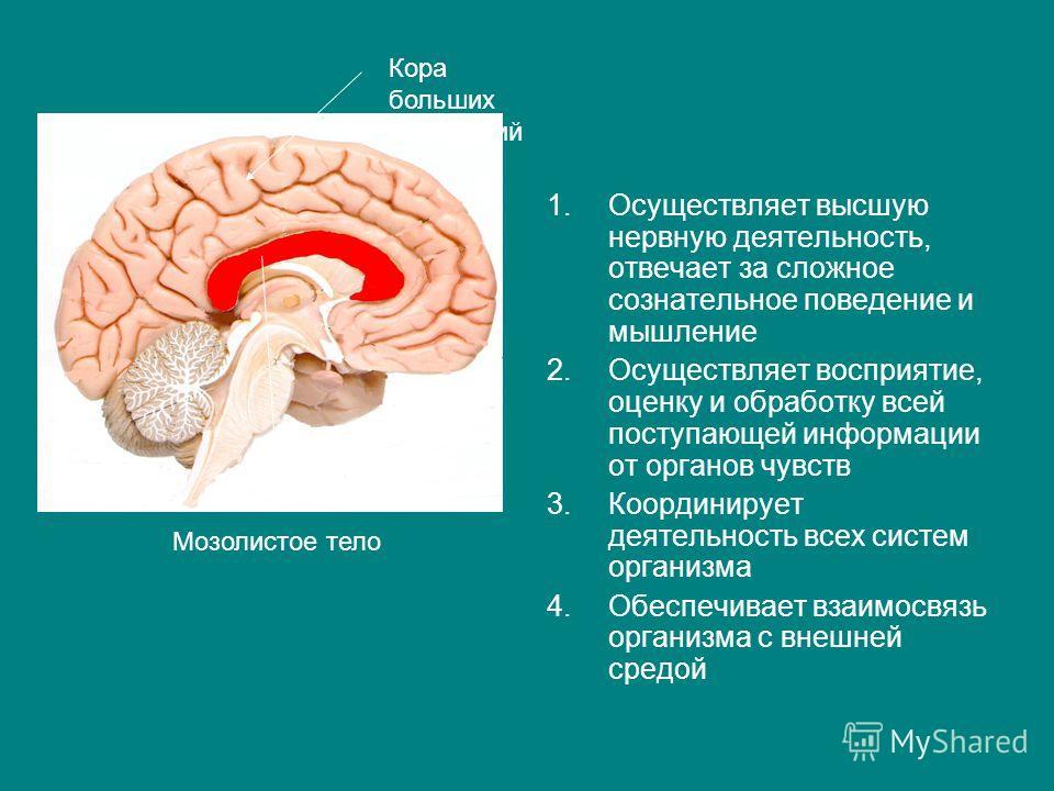 1.Осуществляет высшую нервную деятельность, отвечает за сложное сознательное поведение и мышление 2.Осуществляет восприятие, оценку и обработку всей п