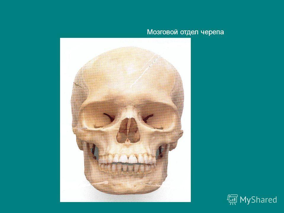 Мозговой отдел черепа