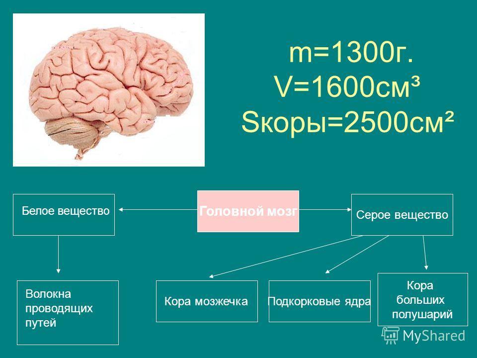 m=1300г. V=1600см³ Sкоры=2500см² Подкорковые ядраКора мозжечка Кора больших полушарий Головной мозг Серое вещество Белое вещество Волокна проводящих путей