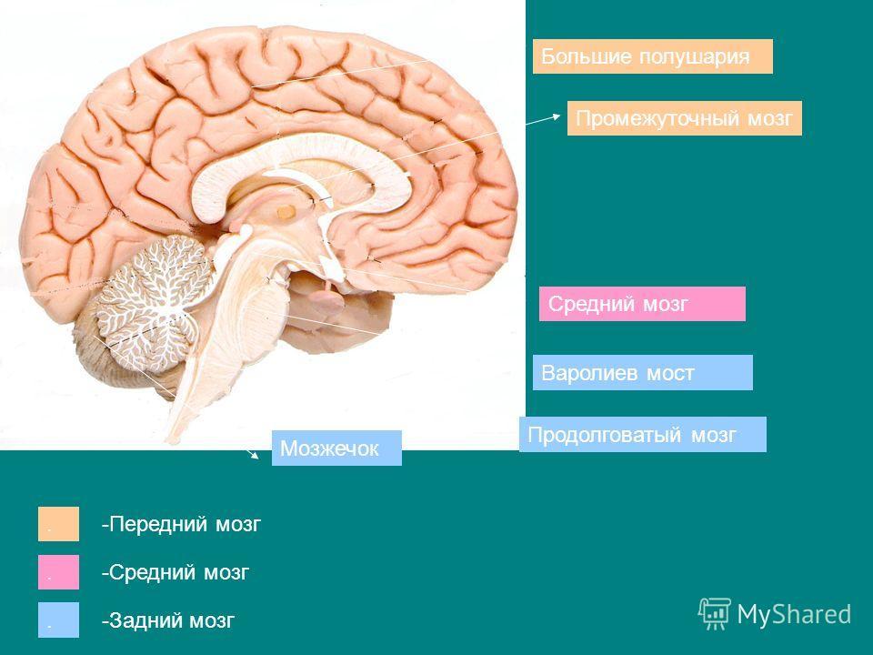 Большие полушария Промежуточный мозг Средний мозг Варолиев мост Продолговатый мозг Мозжечок... -Передний мозг -Средний мозг -Задний мозг
