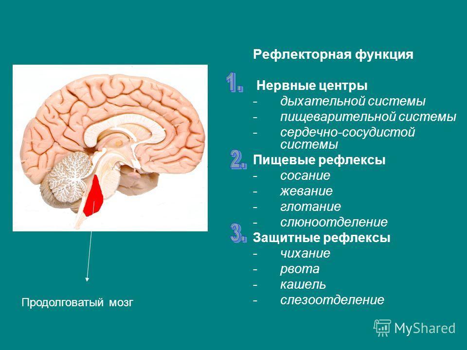 Рефлекторная функция Нервные центры -дыхательной системы -пищеварительной системы -сердечно-сосудистой системы Пищевые рефлексы -сосание -жевание -глотание -слюноотделение Защитные рефлексы -чихание -рвота -кашель -слезоотделение Продолговатый мозг