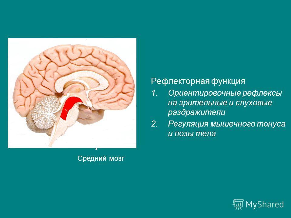 Рефлекторная функция 1.Ориентировочные рефлексы на зрительные и слуховые раздражители 2.Регуляция мышечного тонуса и позы тела Средний мозг