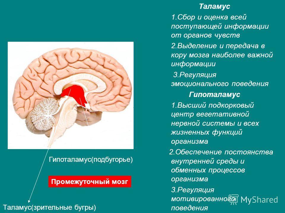 Таламус 1.Сбор и оценка всей поступающей информации от органов чувств 2.Выделение и передача в кору мозга наиболее важной информации 3.Регуляция эмоци