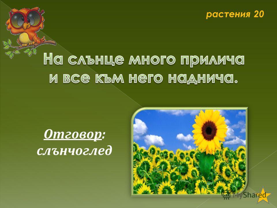 растения 20 Отговор: слънчоглед