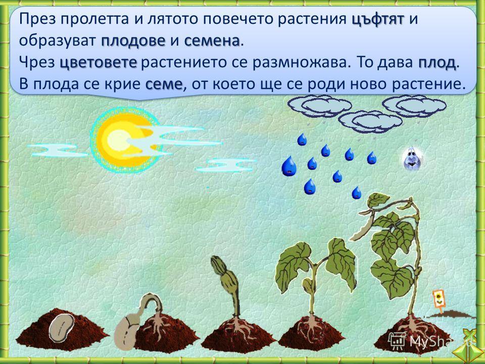 цъфтят плодовесемена През пролетта и лятото повечето растения цъфтят и образуват плодове и семена. цветовете плод семе Чрез цветовете растението се размножава. То дава плод. В плода се крие семе, от което ще се роди ново растение. цъфтят плодовесемен
