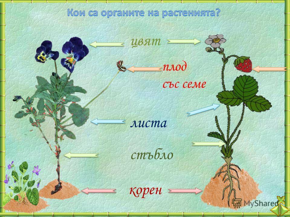 корен стъбло листа плод със семе цвят