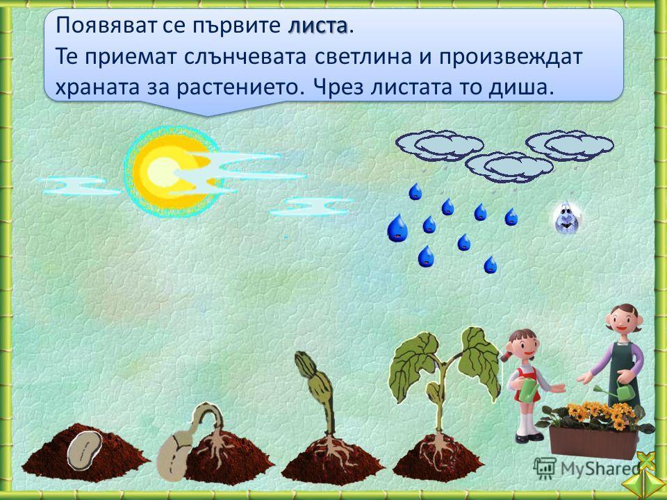 листа Появяват се първите листа. Те приемат слънчевата светлина и произвеждат храната за растението. Чрез листата то диша. листа Появяват се първите листа. Те приемат слънчевата светлина и произвеждат храната за растението. Чрез листата то диша.