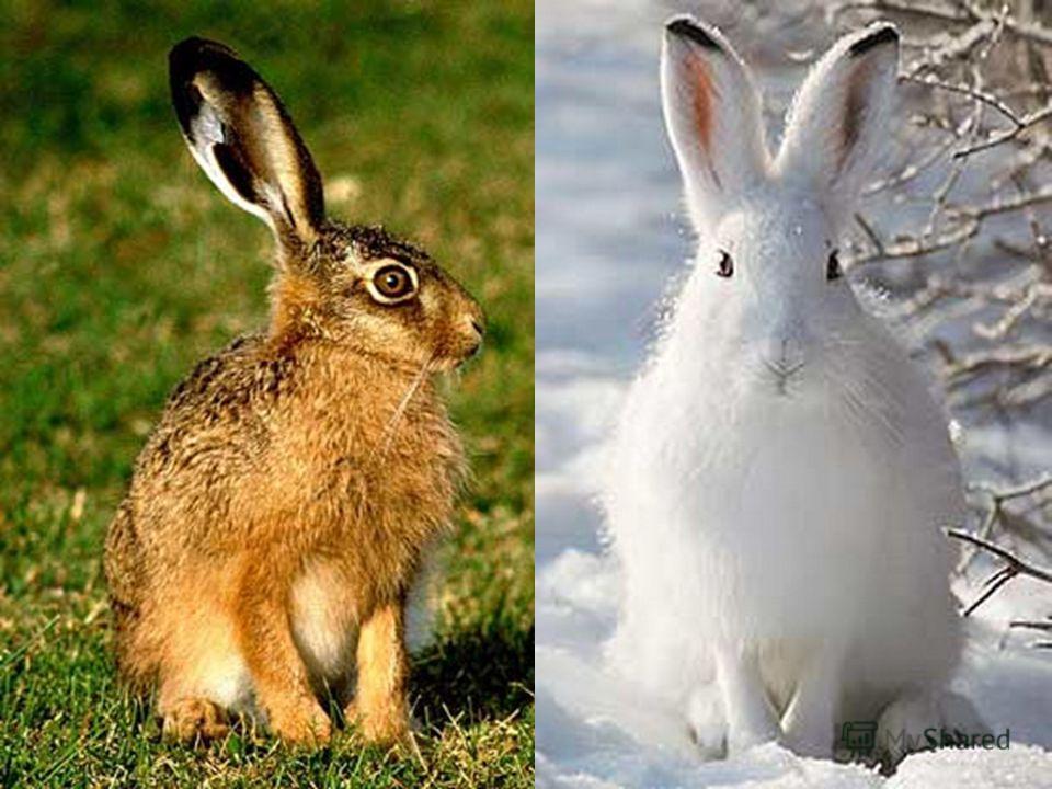 Звірі можуть мати постійне забарвлення або міняти його в різні пори року.