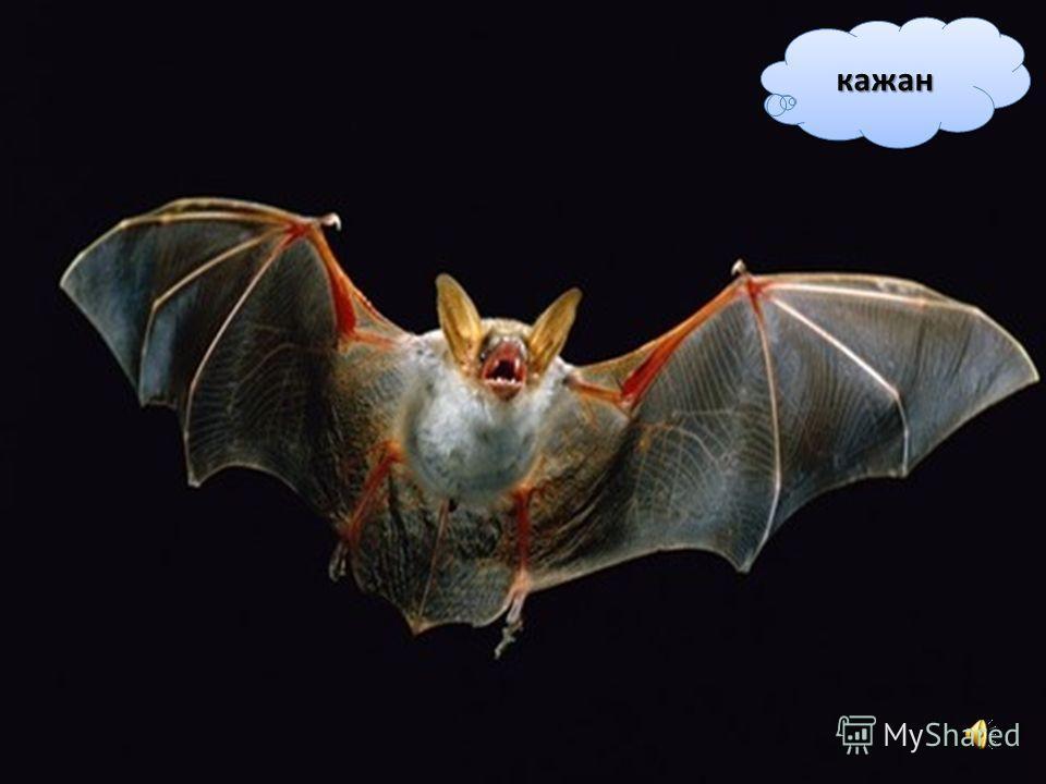 Кажан харчується комахами. Це єдиний ссавець, який вміє літати. Крилами йому слугують лапи, між пальцями яких натягнута шкіра.