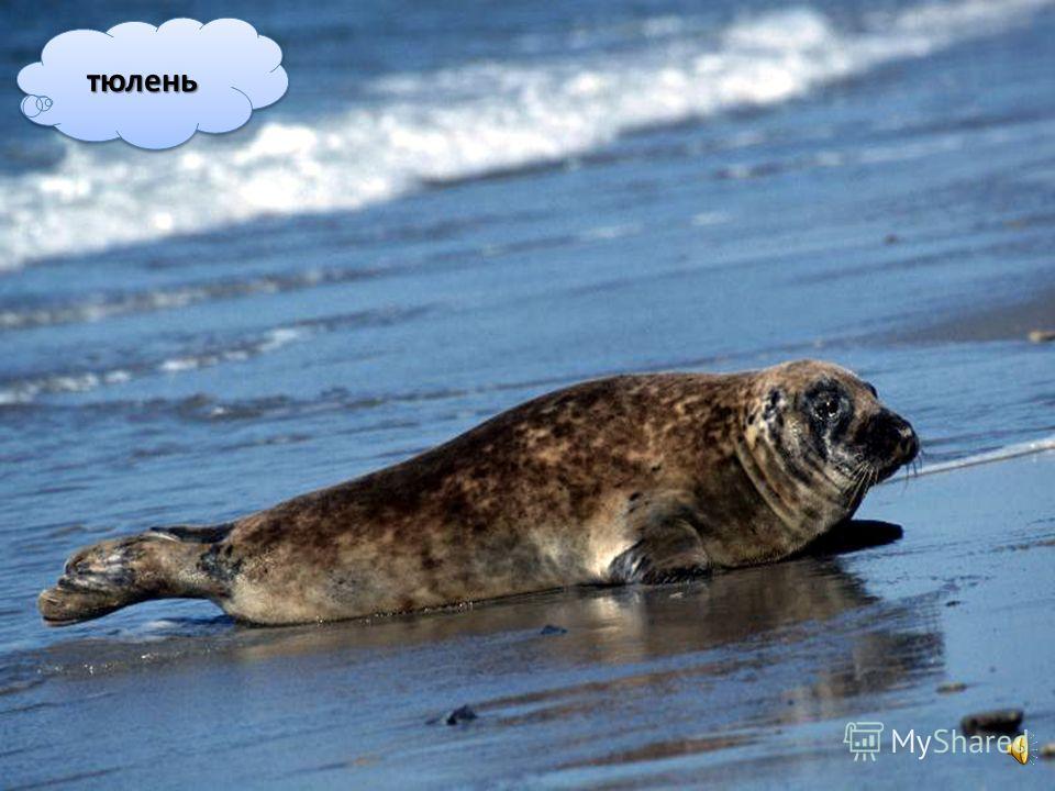 Такі ж плавці є у тюленів, морських левів і моржів, хоча вони проводять у воді тільки частину свого життя.