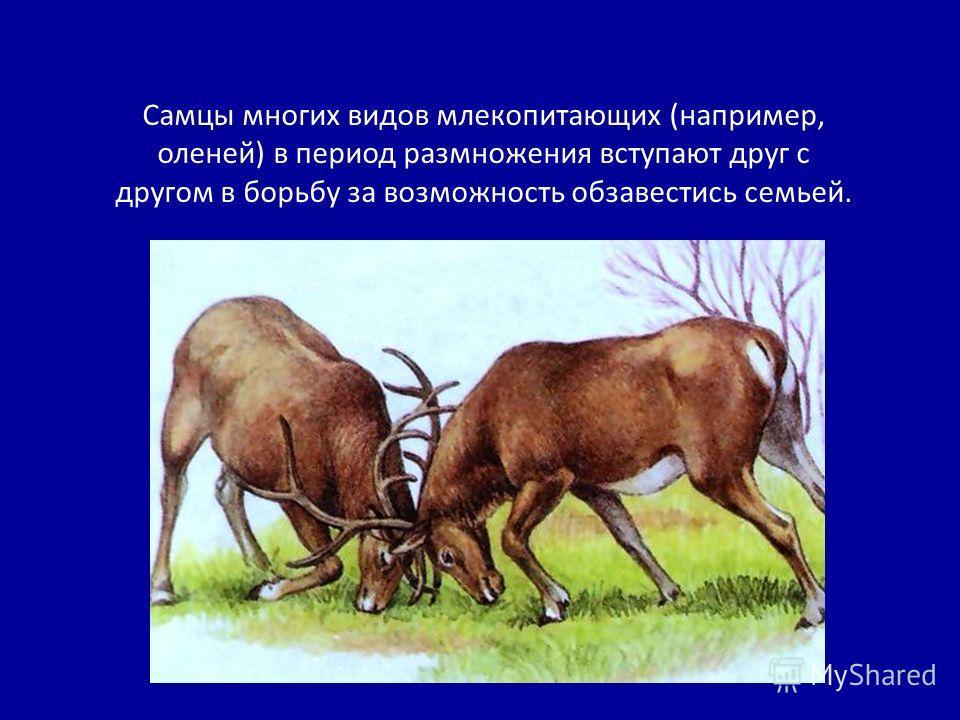 Самцы многих видов млекопитающих (например, оленей) в период размножения вступают друг с другом в борьбу за возможность обзавестись семьей.
