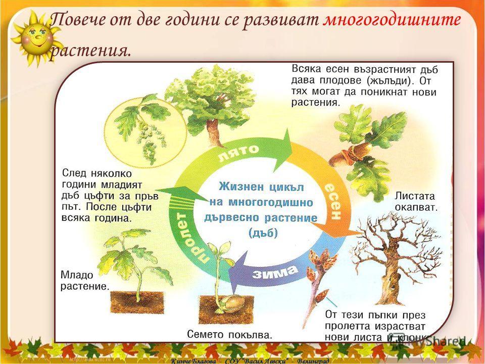 Повече от две години се развиват многогодишните растения.