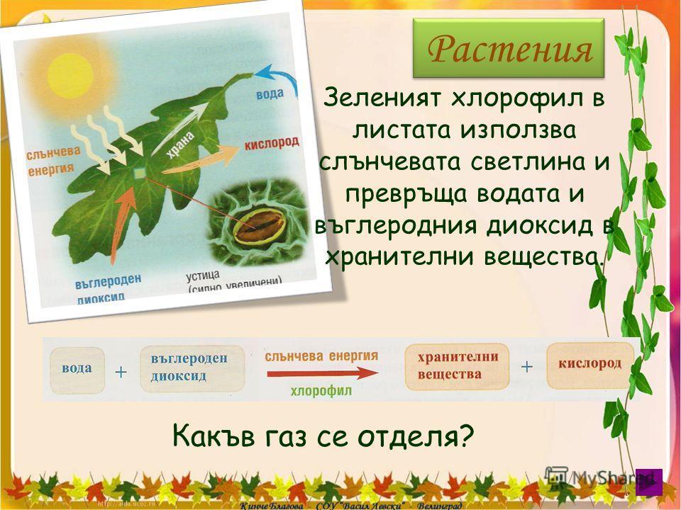Какъв газ се отделя? Растения Зеленият хлорофил в листата използва слънчевата светлина и превръща водата и въглеродния диоксид в хранителни вещества.