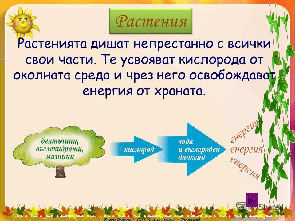 Растения Растенията дишат непрестанно с всички свои части. Те усвояват кислорода от околната среда и чрез него освобождават енергия от храната.