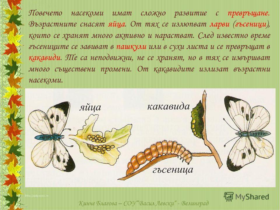 Повечето насекоми имат сложно развитие с превръщане. Възрастните снасят яйца. От тях се излюпват ларви (гъсеници), които се хранят много активно и нарастват. След известно време гъсениците се завиват в пашкули или в сухи листа и се превръщат в какави