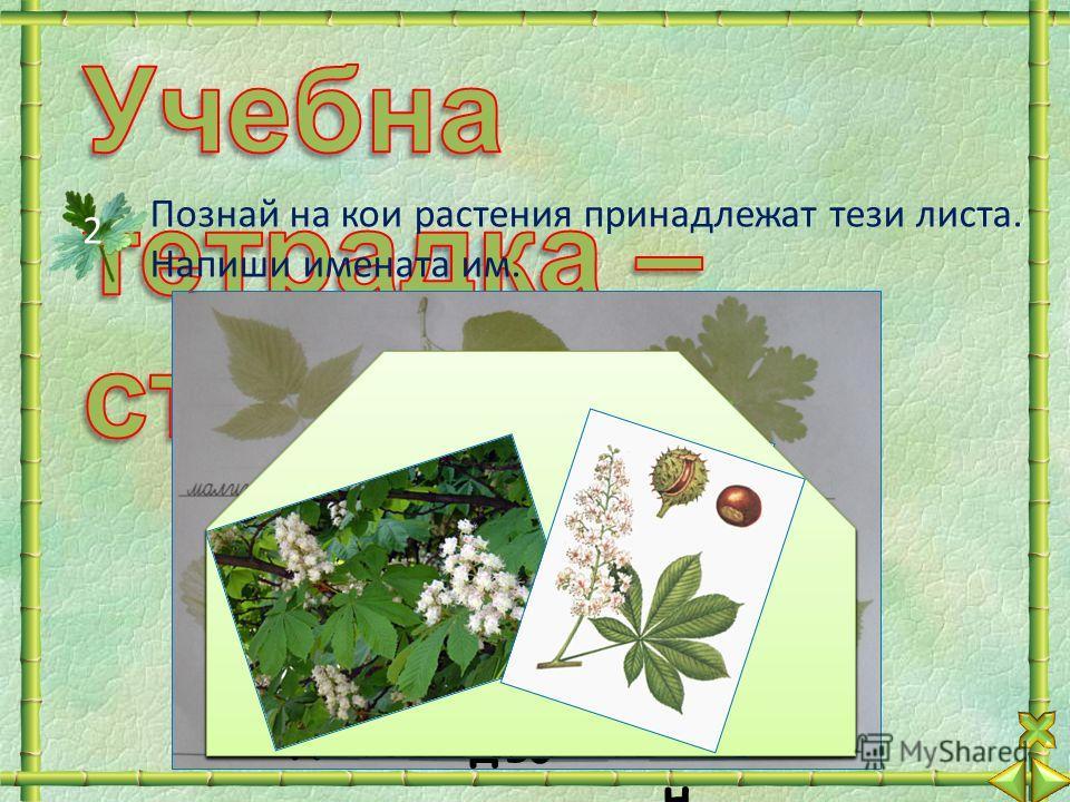 Познай на кои растения принадлежат тези листа. Напиши имената им. 2 ли па здрав ец ягода дъб кесте н