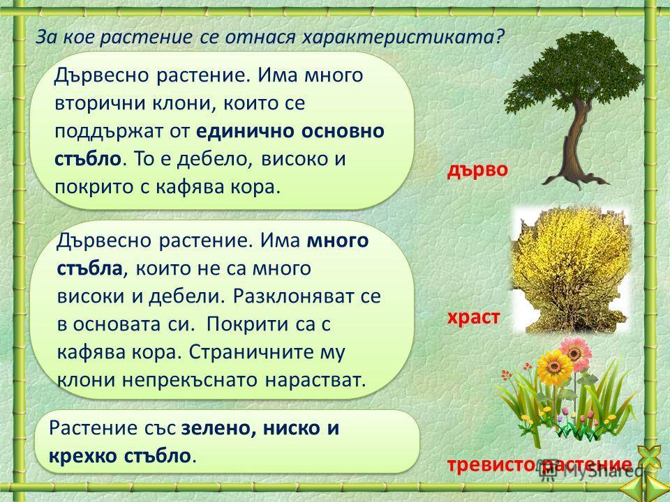 Дървесно растение. Има много вторични клони, които се поддържат от единично основно стъбло. То е дебело, високо и покрито с кафява кора. За кое растение се отнася характеристиката? Дървесно растение. Има много стъбла, които не са много високи и дебел