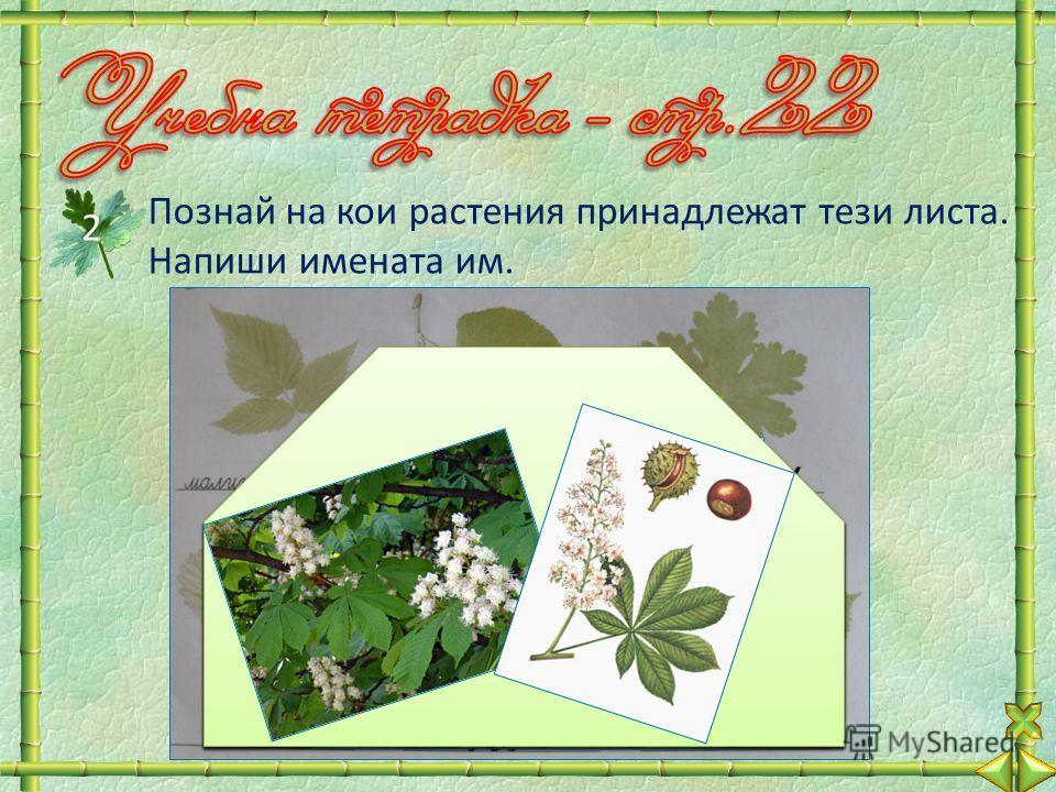 Познай на кои растения принадлежат тези листа. Напиши имената им. 2 липаздравец ягода дъб кестен