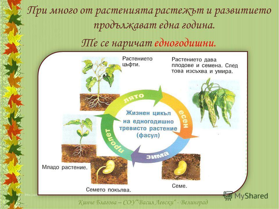 При много от растенията растежът и развитието продължават една година. Те се наричат едногодишни.