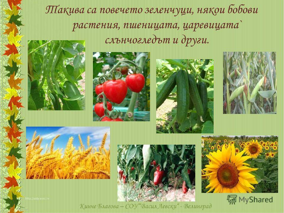 Такива са повечето зеленчуци, някои бобови растения, пшеницата, царевицата` слънчогледът и други.