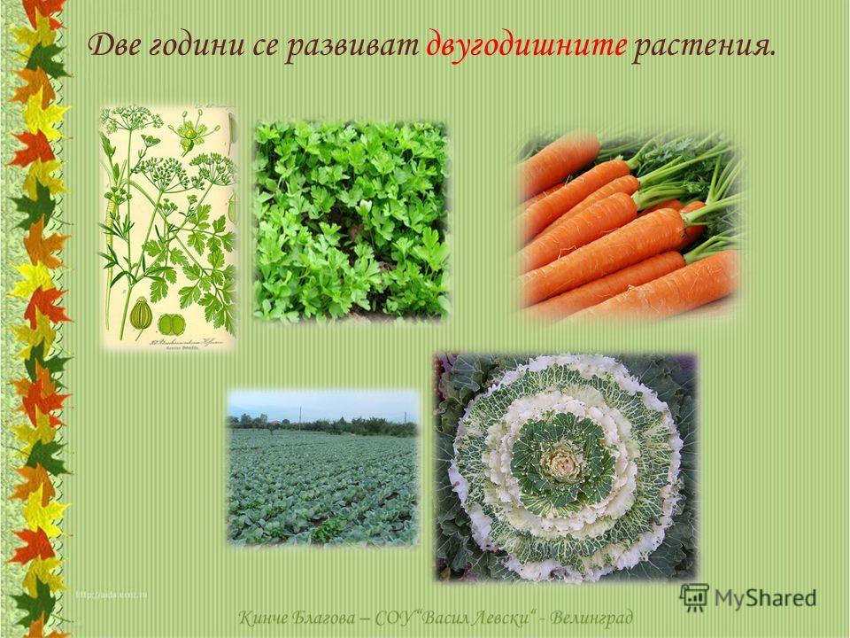 Две години се развиват двугодишните растения.