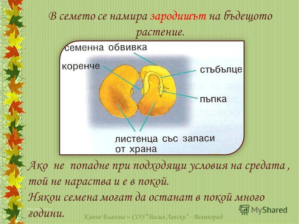 Ако не попадне при подходящи условия на средата, той не нараства и е в покой. Някои семена могат да останат в покой много години. В семето се намира зародишът на бъдещото растение.