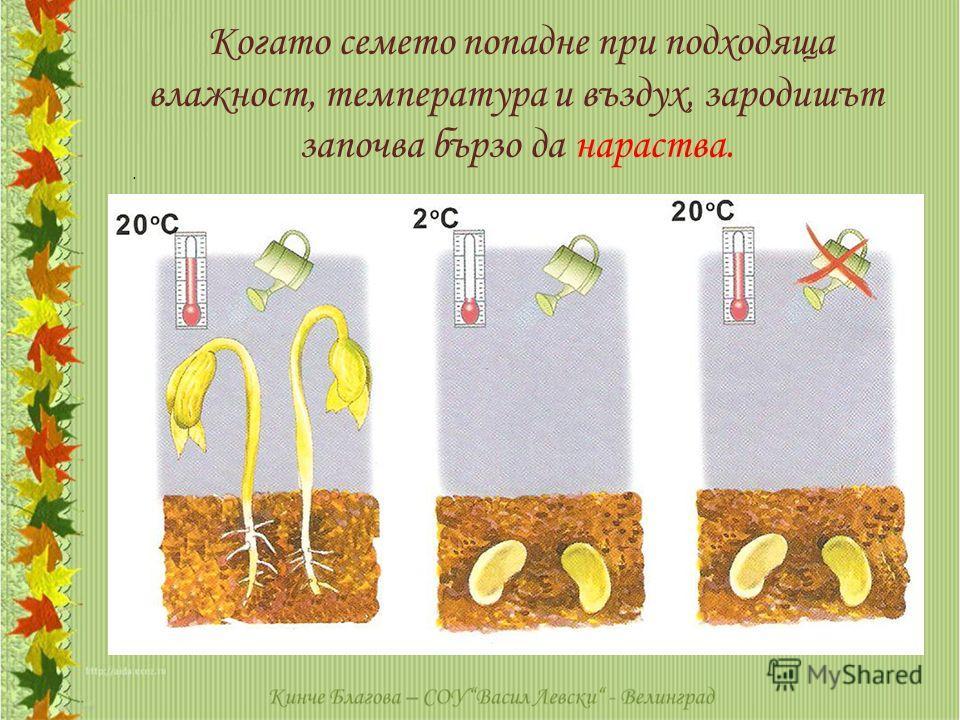 Когато семето попадне при подходяща влажност, температура и въздух, зародишът започва бързо да нараства..