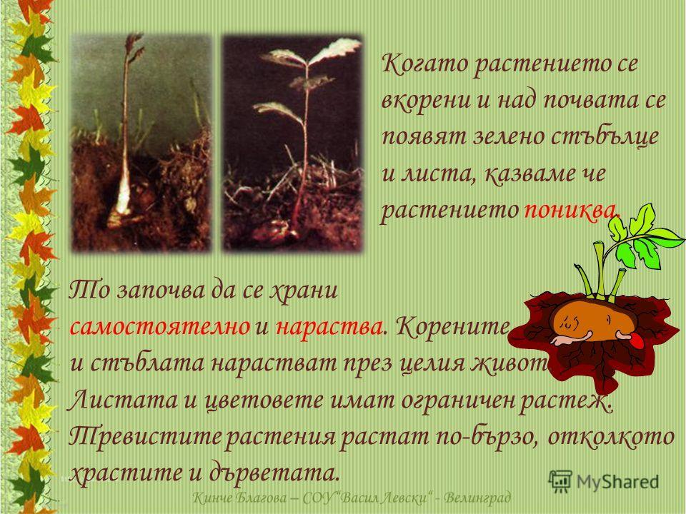 Когато растението се вкорени и над почвата се появят зелено стъбълце и листа, казваме че растението пониква. То започва да се храни самостоятелно и нараства. Корените и стъблата нарастват през целия живот. Листата и цветовете имат ограничен растеж. Т