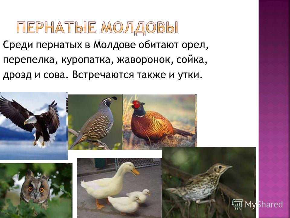 Среди пернатых в Молдове обитают орел, перепелка, куропатка, жаворонок, сойка, дрозд и сова. Встречаются также и утки.