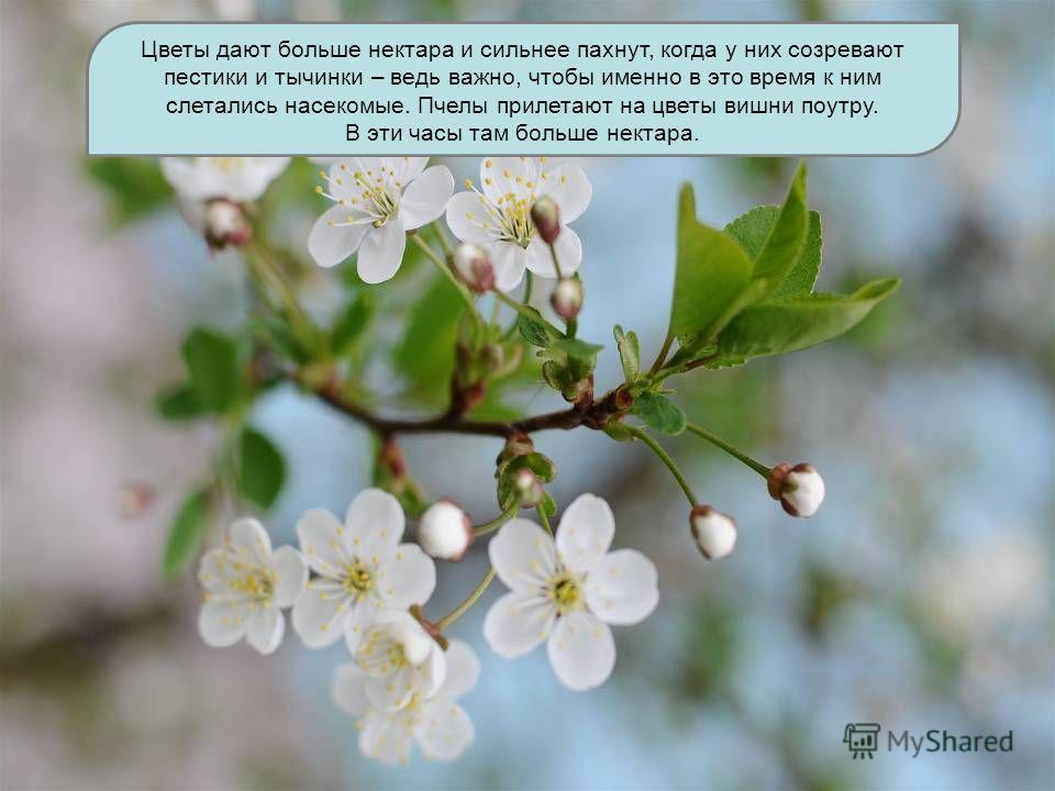Цветы дают больше нектара и сильнее пахнут, когда у них созревают пестики и тычинки – ведь важно, чтобы именно в это время к ним слетались насекомые. Пчелы прилетают на цветы вишни поутру. В эти часы там больше нектара.