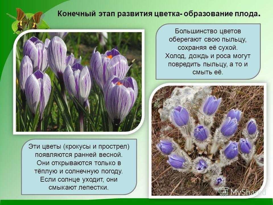 Эти цветы (крокусы и прострел) появляются ранней весной. Они открываются только в тёплую и солнечную погоду. Если солнце уходит, они смыкают лепестки. Большинство цветов оберегают свою пыльцу, сохраняя её сухой. Холод, дождь и роса могут повредить пы