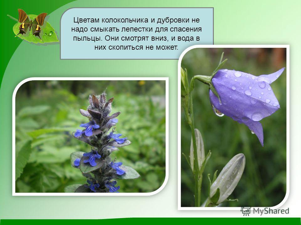 Цветам колокольчика и дубровки не надо смыкать лепестки для спасения пыльцы. Они смотрят вниз, и вода в них скопиться не может.