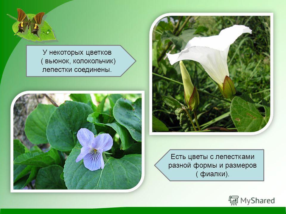 У некоторых цветков ( вьюнок, колокольчик) лепестки соединены. Есть цветы с лепестками разной формы и размеров ( фиалки).