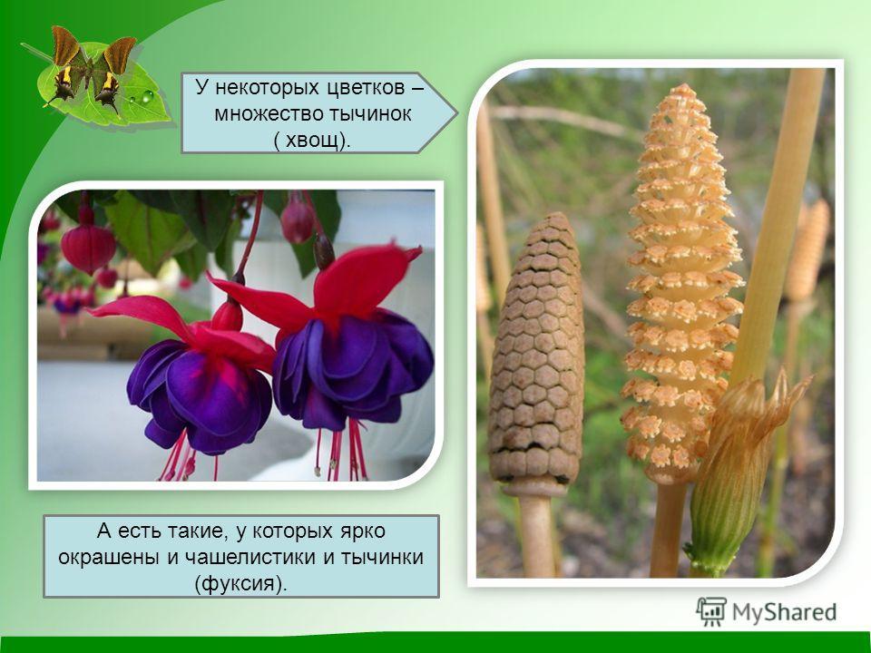 А есть такие, у которых ярко окрашены и чашелистики и тычинки (фуксия). У некоторых цветков – множество тычинок ( хвощ).